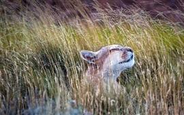 Животные, пума, трава