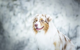 Preview wallpaper Australian shepherd, dog close-up, bokeh
