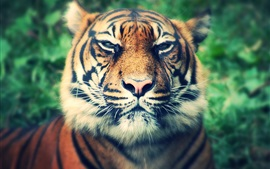 Preview wallpaper Big cat, tiger, predator, mustache, face close-up