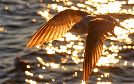 Bird flying on water top, sunset, glare