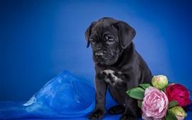 Черный щенок, цветы, синий фон