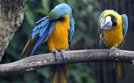 Preview wallpaper Blue and yellow macaws, Singapore