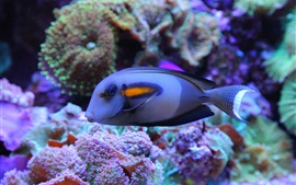 Preview wallpaper Blue fish, underwater, sea, coral reef
