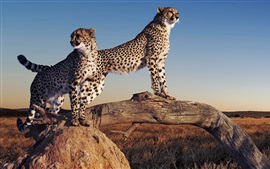 Preview wallpaper Cheetahs, vantage point, grass, tree, sunset