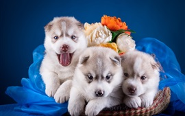 Cute puppies, huskies, basket, rose flowers