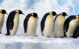 Preview wallpaper Emperor Penguins, Antarctica, snow, cold