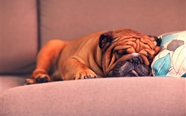 Preview wallpaper French Bulldog sleeping