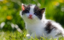 Preview wallpaper Furry kitten, white black
