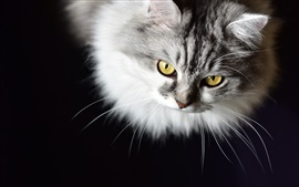 Furry kitten, yellow eyes, black background