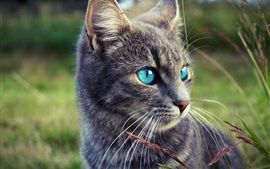 Preview wallpaper Gray cat, blue eyes, grass