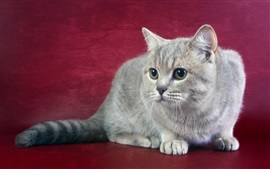 Gray cat close-up, red background