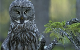 Great gray owl in the forest