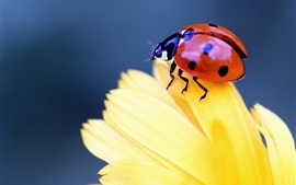 Preview wallpaper Insect close-up, ladybird, beetle, yellow flower petals