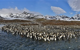 Preview wallpaper King Penguins, St. Andrews Bay, South Georgia and South Sandwich Islands