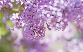 Lilac, pink petals, flowers, branches, bokeh