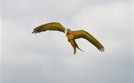 Preview wallpaper Parrot flight, wings, sky