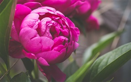 Preview wallpaper Pink peony flower macro photography