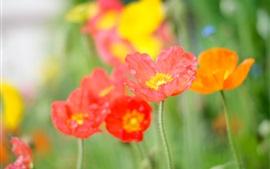 Flores da papoila, pétalas, vermelho, laranja, rosa, verão