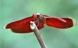Preview wallpaper Red wings dragonfly, insect close-up