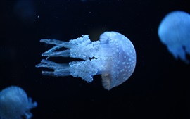 Preview wallpaper Sea animals, jellyfish, underwater