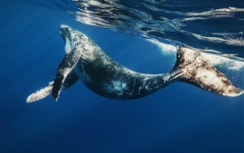 Preview wallpaper Sea animals, whale, ocean, underwater