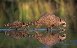 Preview wallpaper Two raccoons, mother and cub, water reflection