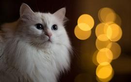 Gato branco vista de frente, bokeh