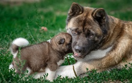 Preview wallpaper American Akita dog, mother and puppy