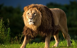 Preview wallpaper Animals close-up, lion, mane, predator, grass