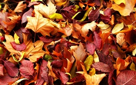 Autumn nature, red and yellow maple leaves, ground