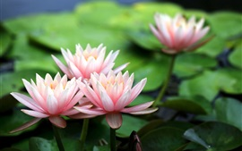 Preview wallpaper Beautiful flowers, pink water lilies, dew
