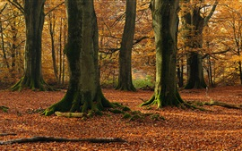 Preview wallpaper Beech trees, forest, autumn