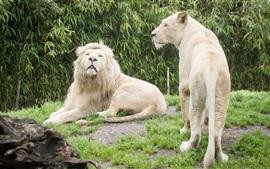 Los grandes felinos, leona, león, hierba