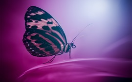 Preview wallpaper Butterfly, wings, insect, purple background