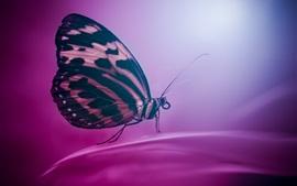 Mariposa, alas, insecto, fondo púrpura
