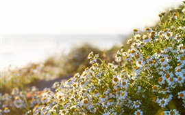 Preview wallpaper Chamomile flowers, summer, sunshine
