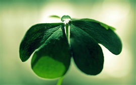 Preview wallpaper Clover plant close-up, green, dew