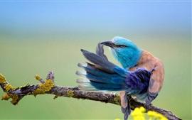 Coracias Garrulus, синяя птица перо