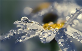 Preview wallpaper Daisy petals macro photography, water drops, dew