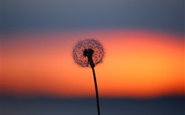 Dandelion flower at sunset, red sky
