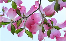 Dogwood branches, pink flowers, petals