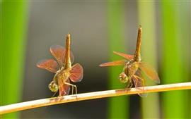 Preview wallpaper Dragonflies dance, couple, insect close-up