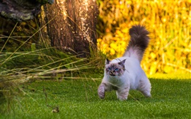 Preview wallpaper Fluffy tail cat walking on grass