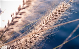 Preview wallpaper Grass seeds macro photography