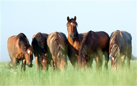 Preview wallpaper Horses graze, grass, summer