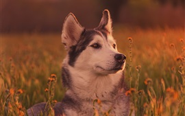 Preview wallpaper Husky dog in grass, face, dusk