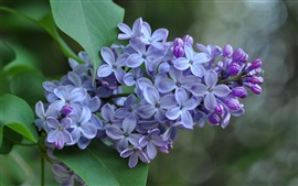 Preview wallpaper Lilac flowers, inflorescence, purple petals
