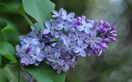 Aperçu fond d'écran fleurs de lilas, inflorescence, pétales violets