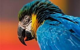 Macaw, papagaio, pássaro close-up, bico, penas azuis