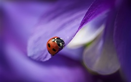 Preview wallpaper Purple petals, flower close-up, red ladybug